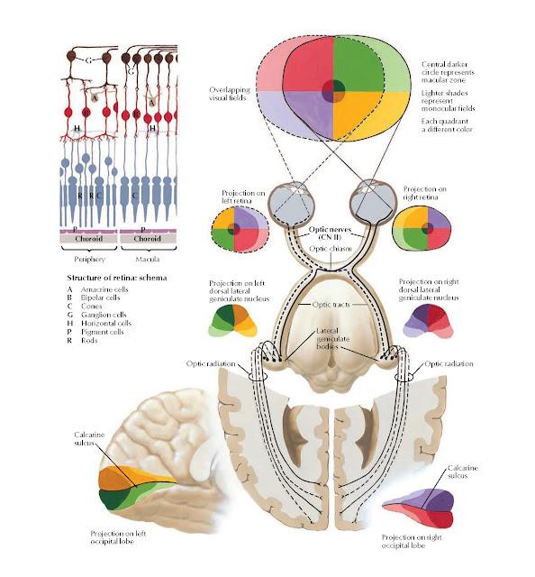 Optic Nerve (CN II) (Visual Pathway): Schema Anatomy