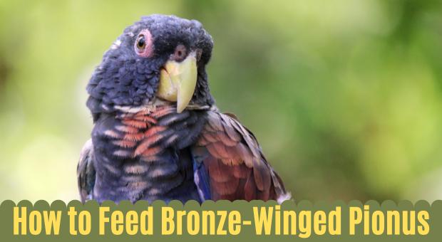 How to Feed-Bronze-Winged-Pionus