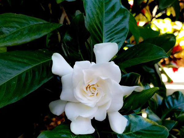 How to grow and take care of gardenias