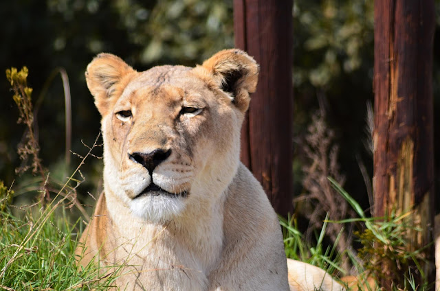 Lioness at Lion & Rhino Nature Reserve, Johannesburg, South Africa
