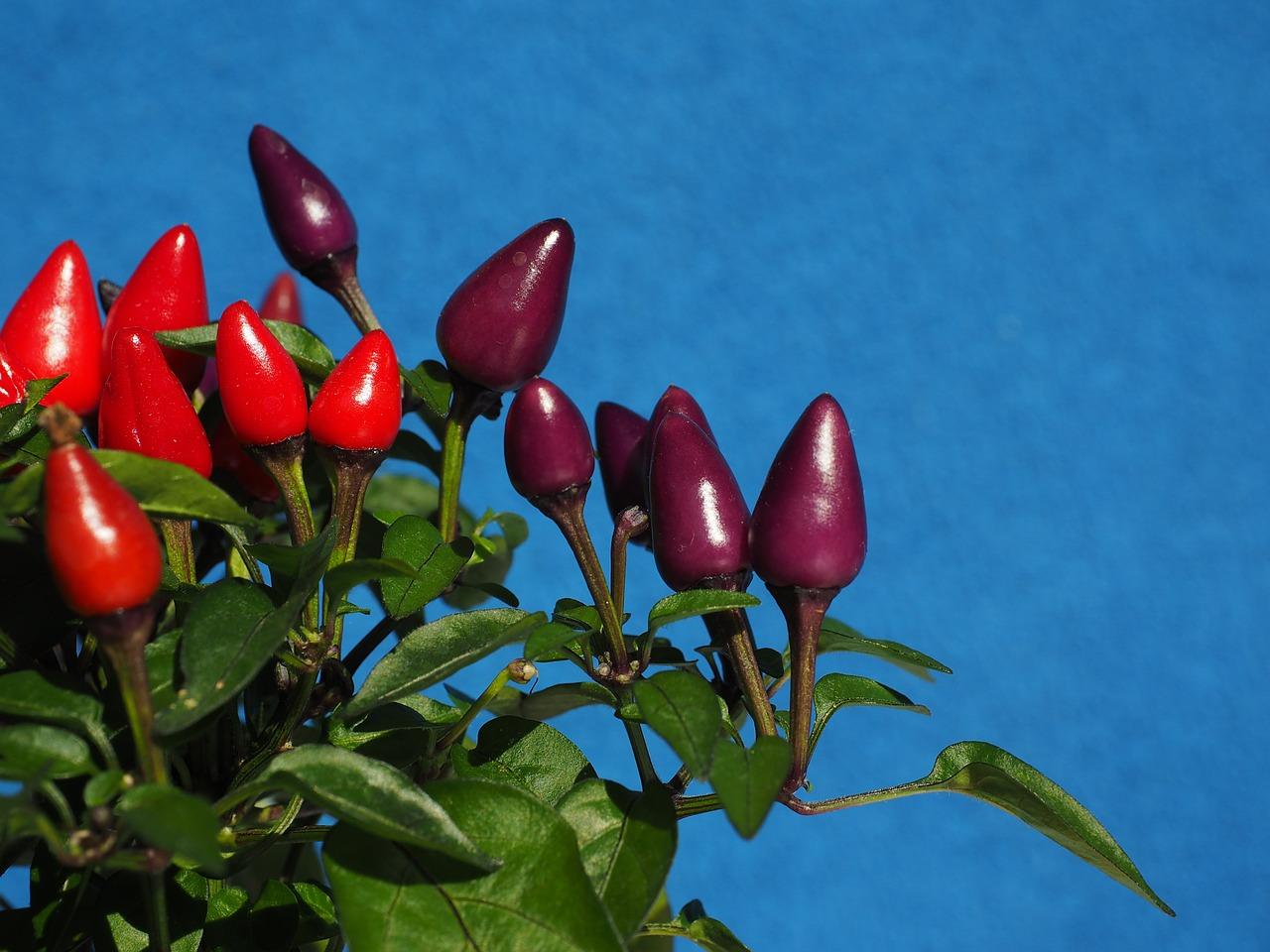 Ornamental pepper plants