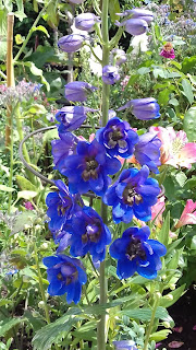 Blue Jay,  Pacific Giant Delphinium from seed