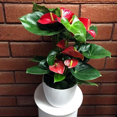 Bunga Gelombang Cinta Merah (Anthurium scherzerianum)