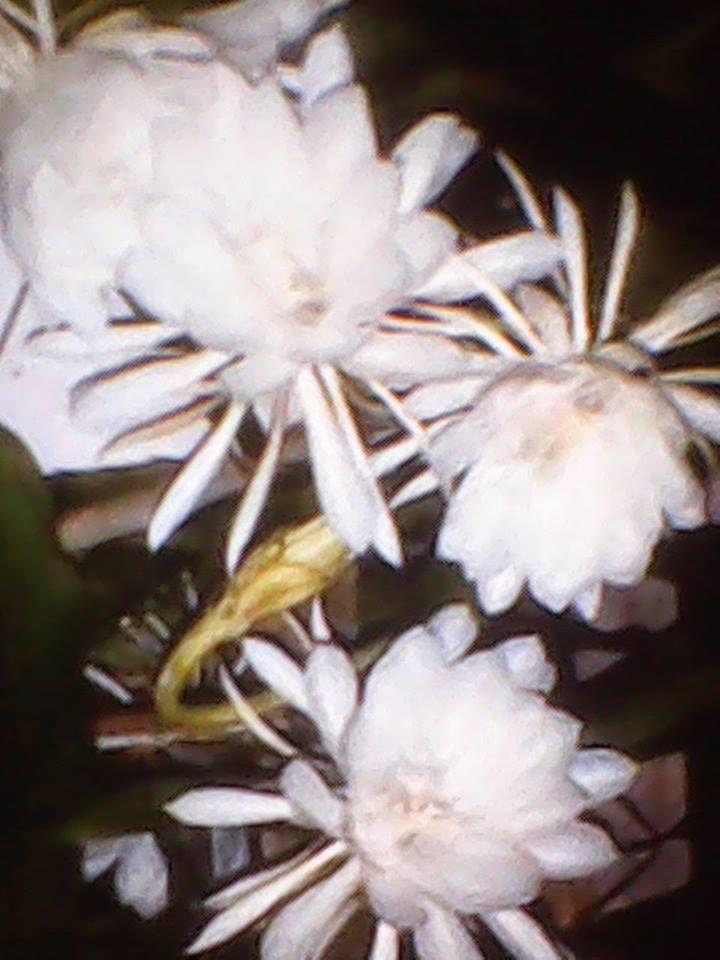 manfaat bunga wijaya kusuma sebaga tanaman obat herbal