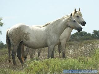 Cheval domestique - Equus ferus caballus - Equus caballus