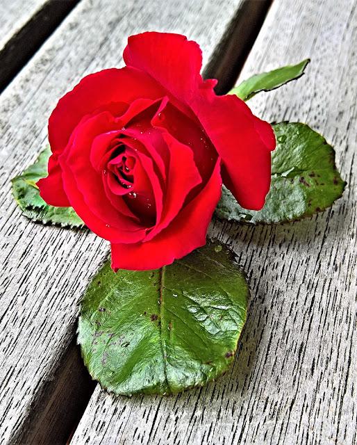 وردة حمراء جميلة خلفية الموبايل