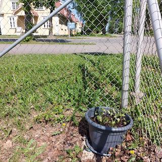 Metalliverkkoaitan nurkka jonka alareunassa iso ruukku täynnä kasvin alkuja