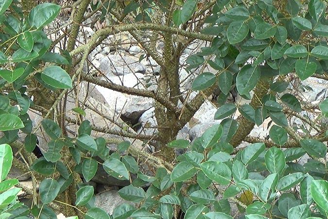 Dlium Cangkring (Erythrina fusca)