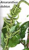 அரைக்கீரை - Amaranthus dubius.