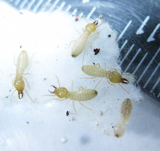 Soldiers and a worker of Coptotermes urvignathus termite