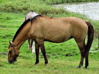 Pardal Pousa sobre Cavalo - Cabanha Costa do Cerro
