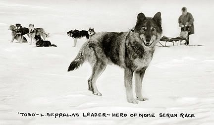 Togo The Lead Sled Dog of Leonhard