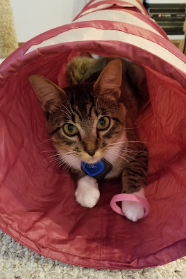 Charlie in the tunnel with a Rollie toy (rubber bands, best cat toy ever)