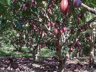 pupuk organik penyubur tanaman kakao,obat kakao,obat penyubur kakao,pupuk coklat,pupuk kakao,pupuk penyubur tanaman coklat,pupuk penyubur tanaman kakao,