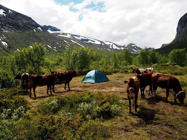 stan, stanování, krávy, příroda, Norsko, Jotunheimen, Gjende