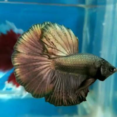 Ikan Cupang Halfmoon Cooper