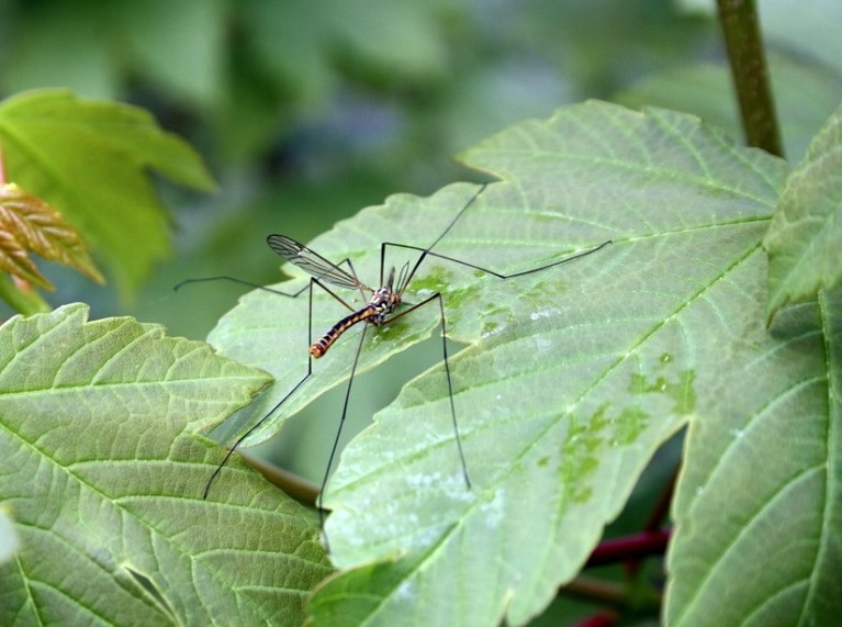 mosquito on leaf