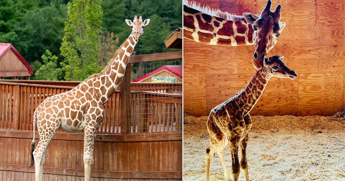 April, The Giraffe Who Became An Internet Sensation As The World Watched Her Give Birth, Is Euthanised In New York Zoo After Suffering From Arthritis