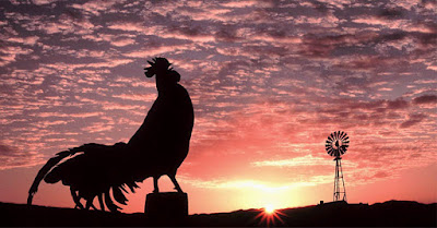 ayam jantan berkokok