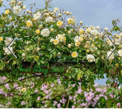 hoa hồng leo màu trắng