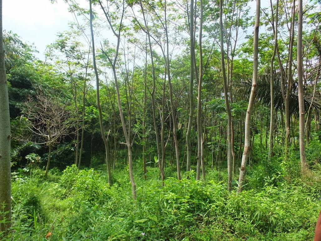 DSCF1829+(FILEminimizer) Jual Tanah Kebun Albasiah 6 HA Di Kec Pacet Jual tanah di cipanas