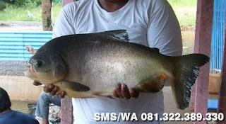Essen Tenggiri Ikan Bawal Induk Galatama