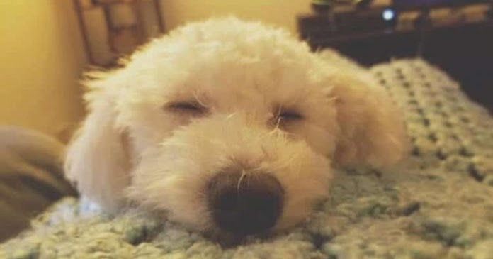Specialists Finds Out That Dogs Dream About The Humans They Love
