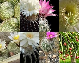 Jenis Kaktus Unik
