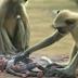 A estos monos les dieron un bebé falso. Cuando algo horroroso ocurrió, nadie esperaba esta reacción