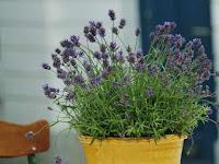 Tahukah Kamu? Begini Cara Menanam Bunga Lavender di Pot