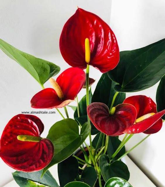أزهار Anthurium