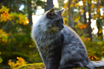 A fluffy grey cat is pictured sitting in a forest