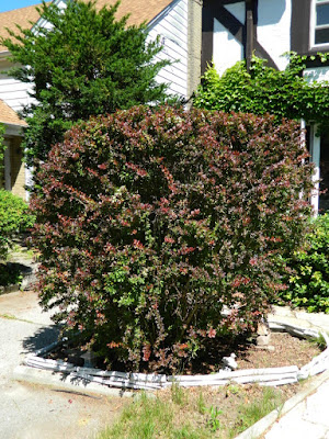 Japanese barberry (Berberis thunbergii) in a Toronto garden by garden muses--not another Toronto gardening blog
