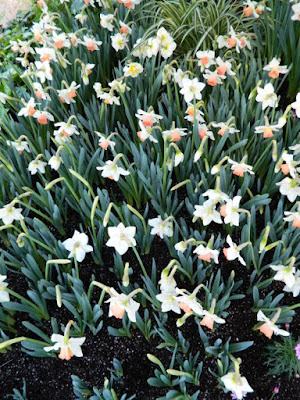 2016 Allan Gardens Conservatory Spring Flower Show Pink Charm daffodil narcissus by garden muses-not another Toronto gardening blog
