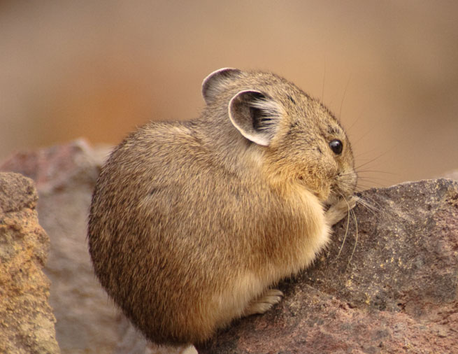 rabbits hares and pikas amazing facts amazing animals facts
