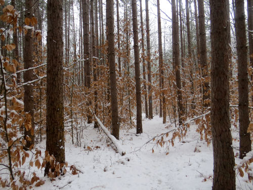 red pine plantation with young beech understory