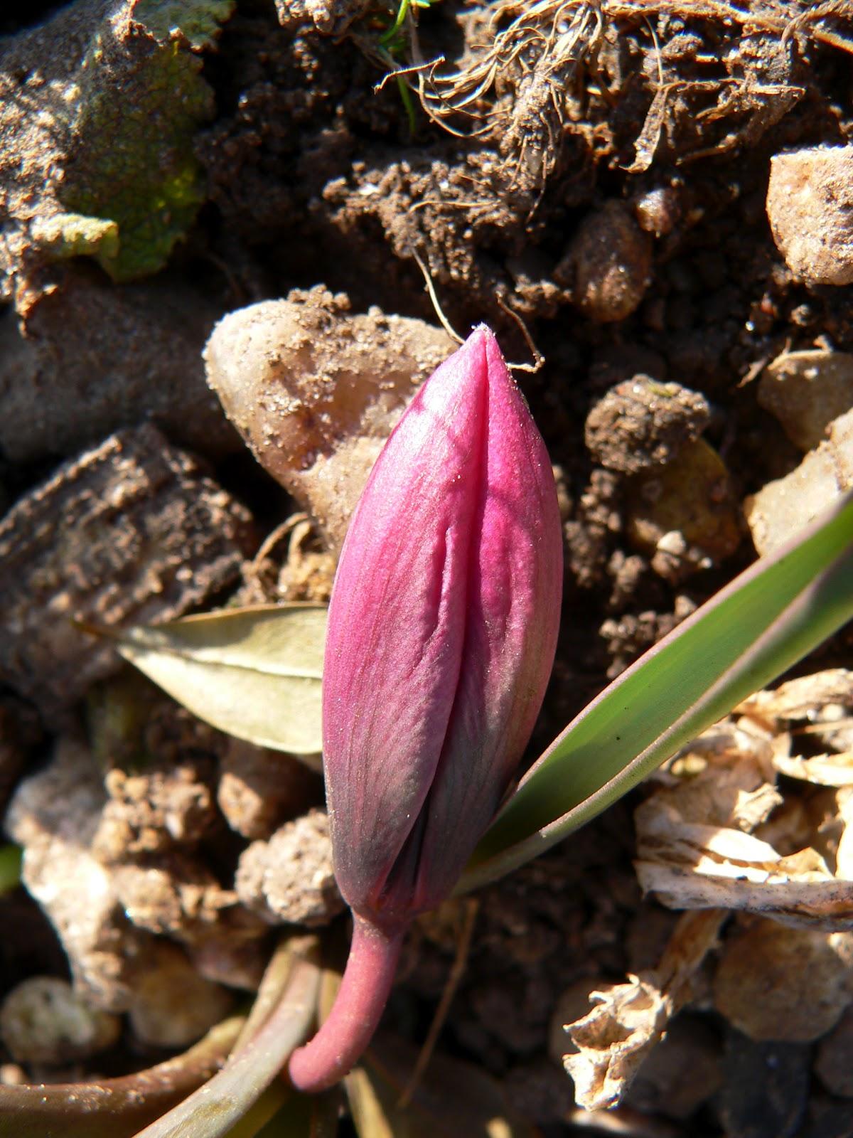 Grønne nedslag: Mine første - og sidste tulipaner?