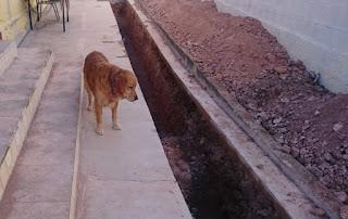 Apelsinblomshund inspekerar arbetet.