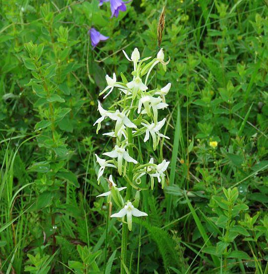 Podkolan zielonawy (Platanthera chlorantha (Custer) Rchb.).