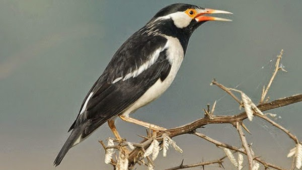Cara Merawat Burung Jalak Suren Agar Tidak Menjadi Giras