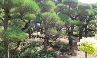 Jual Pohon Bonsai Cemara Udang,Harga Pohon Bonsai Cemara Udang,Tukang Taman Murah