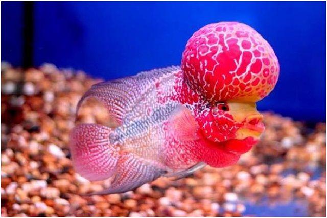Gambar Ikan Hias Cantik – Ikan Louhan