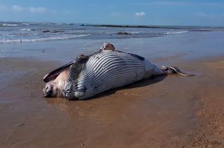http://vnoticia.com.br/noticia/3129-corpo-de-filhote-de-baleia-jubarte-e-encontrado-na-praia-de-manguinhos