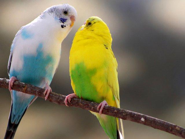 Jenis Burung Kenari Beserta Gambarnya Terpopuler Tahun 2020