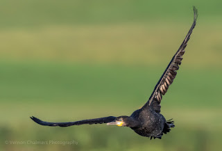 Cormorant in flight - Tracking Variables for Improved Birds in flight Photography