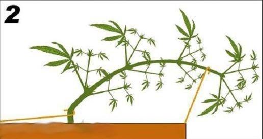 Растение фокус