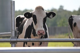 Holstein cows for milk production