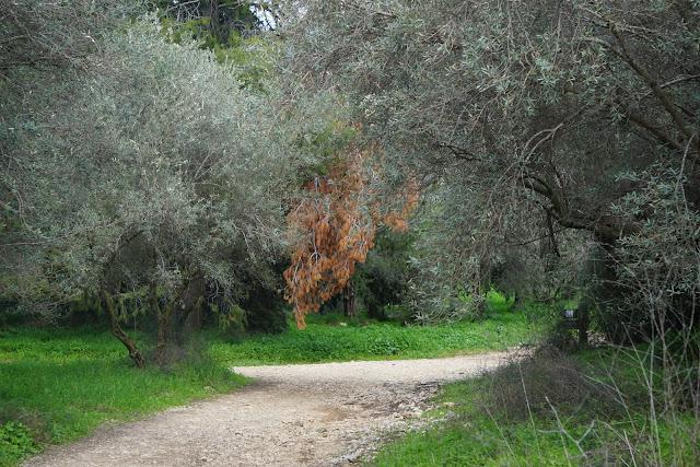 שביל בבוסתן עצי זית
