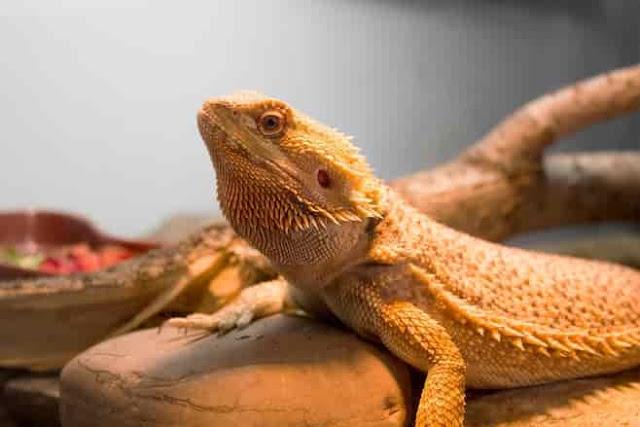 Bearded Dragon as pet