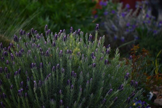 """desert garden, small sunny garden, amy myers, lavender """"Madrid"""", lavendula stoechas"""